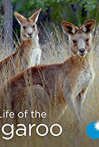 Secret Life of the Kangaroo